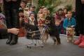 Chihuahuade Trikikooli esinemine Hortes perepäeval