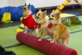 Chihuahuade trikikooli esinemine PetCity jõuluturul