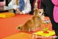 Chihuahuade trikishow Buduaari turul