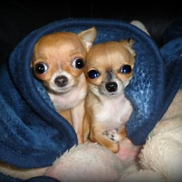 Mida peaks teadma koerte gripist?