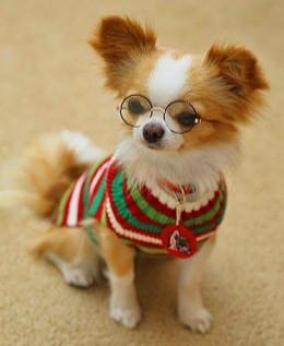 Koerale prillid ette ja läätsed silma?
