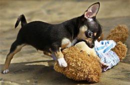Tige koer on laisa peremehe või geenide süü