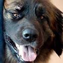 Äikese- ja mürahirmu võib koeras tekitada ka mõtlematu omanik
