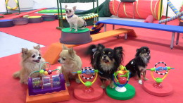 Chihuahuade trikitund 28. veebruaril