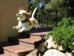 Advokaat selgitab: koeraomanik vastutab koera tekitatud kahju eest enda süüst sõltumata