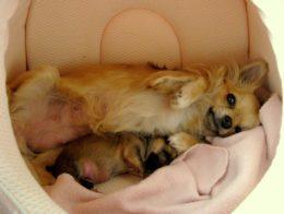 Kuidas lemmikloomad poegivad