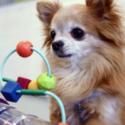 VIDEO: Chihuahuade trikid