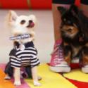 Cute Chihuahua Dogs Dancing
