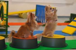 Chihuahuade trikikooli trenn 17. veebruaril