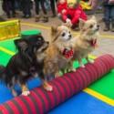 Chihuahuade trikitund 2. veebruaril