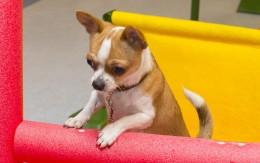 Chihuahuade trikikool