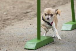 Chihuahuade trikikooli trenn 19. mail