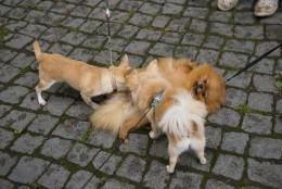 Emane koer ja jooksuaeg