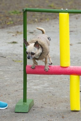Chihuahuade trikikooli trenn 26. mail