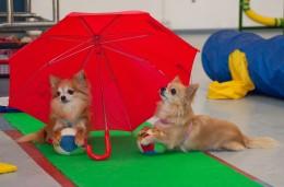 Chihuahuade trikikooli trennid sellel nädalal