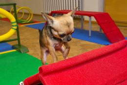 Chihuahuade trikikool novembris