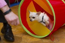 Chihuahuade trikikool sel nädalal