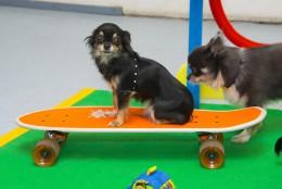 Chihuahuade trikikool sellel nädalal