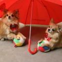 Chihuahuade Trikikool 1. märtsil