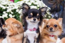 Kuidas tühjendada koera pärakupaunu?