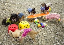 Chihuahuade trikikool algajatele 25. novembril