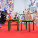 Selle aasta viimased Chihuahuade trikikooli tunnid