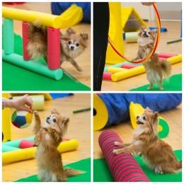 Chihuahuade trikikooli trenn 10. märtsil