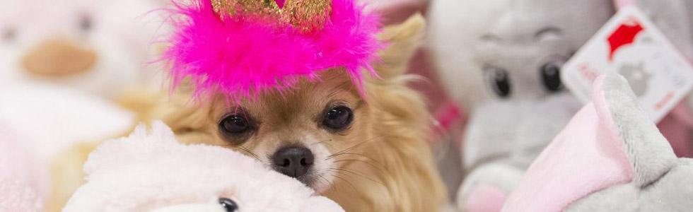 8e549d1f698 Kutsikas tahab oma uut kodu ise rahulikult uudistada - Chihuahua Sõprade  Liit