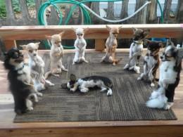 Chihuahuade trikikool 24. märtsil